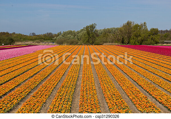 Rows of tulips on a flower farm in Holland - csp31290326
