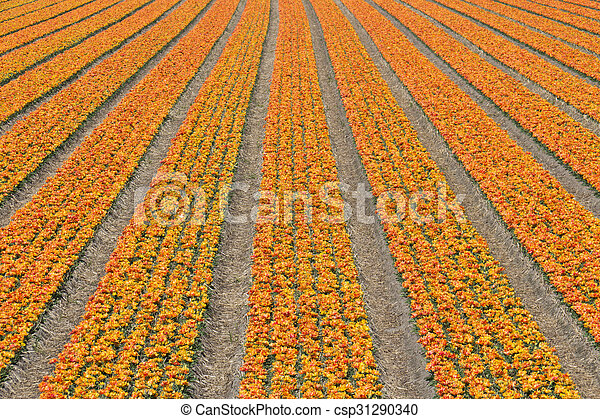 Rows of tulips on a flower farm in Holland - csp31290340