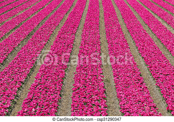 Rows of tulips on a flower farm in Holland - csp31290347