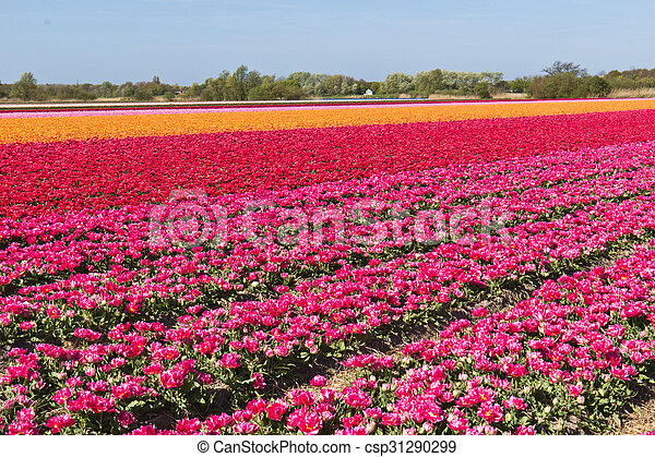 Rows of tulips on a flower farm in Holland - csp31290299