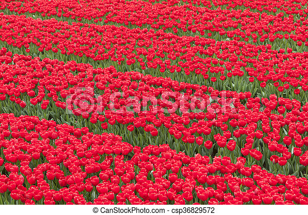 rows of vibrant red tulips in flower field - csp36829572