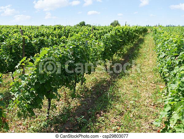 rows of  vineyard immature summer day - csp29803077