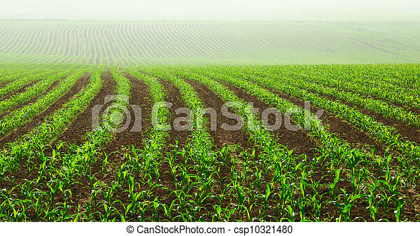 Rows of young corn plants - csp10321480