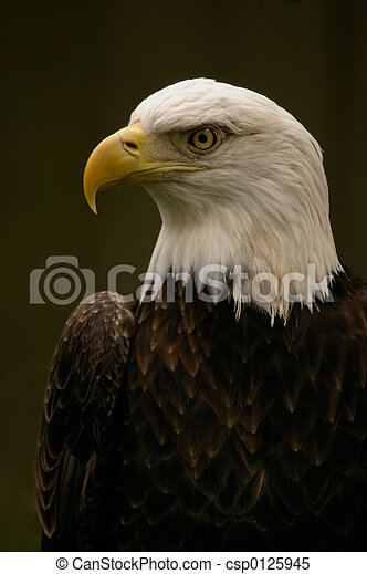 royal aigle chauve pose portrait