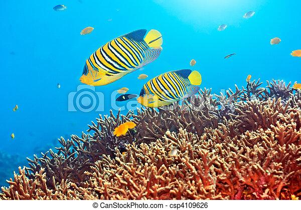 Royal angelfishes - csp4109626