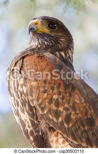 royal falcon - csp30503110
