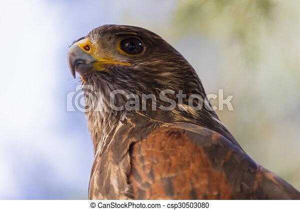 royal falcon - csp30503080