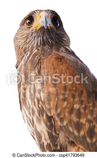 royal falcon - csp41793649