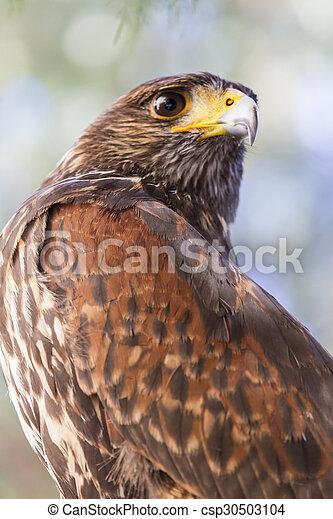 royal falcon - csp30503104