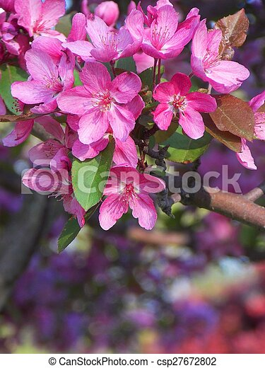 Royalty Free Photograph of Lovely Spring Crab Apple Blossoms in Seasonal  Bloom
