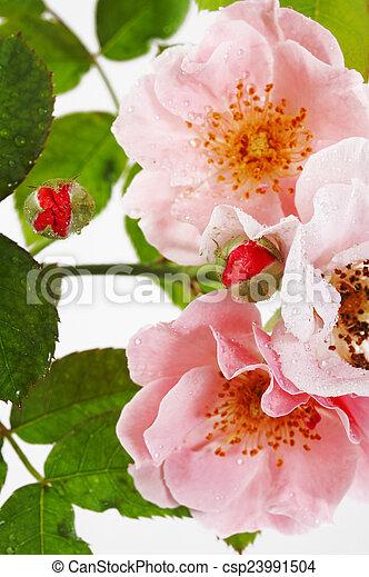 roze, dichtbegroeid boven, roos - csp23991504