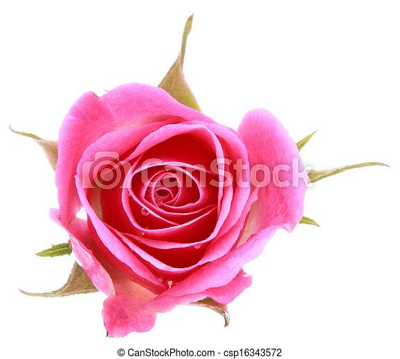 roze, hoofd, bloem, roos, vrijstaand, achtergrond, witte , cutout - csp16343572