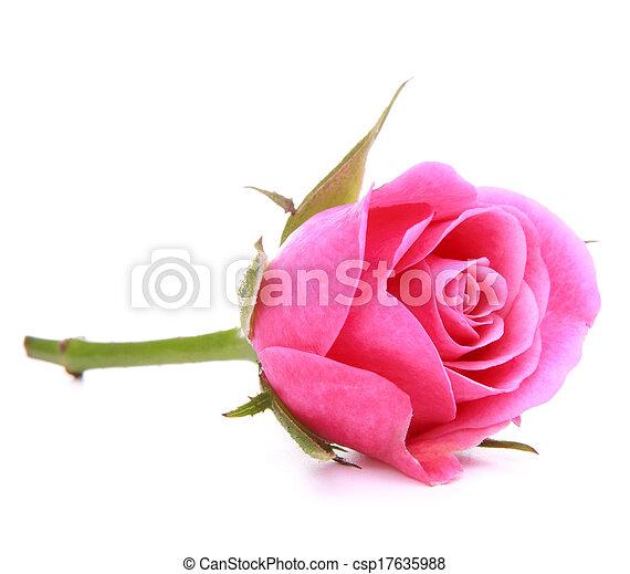 roze, hoofd, bloem, roos, vrijstaand, achtergrond, witte , cutout - csp17635988