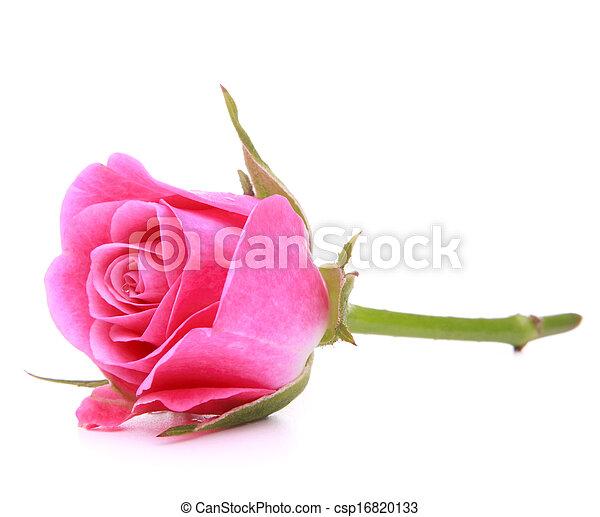 roze, hoofd, bloem, roos, vrijstaand, achtergrond, witte , cutout - csp16820133