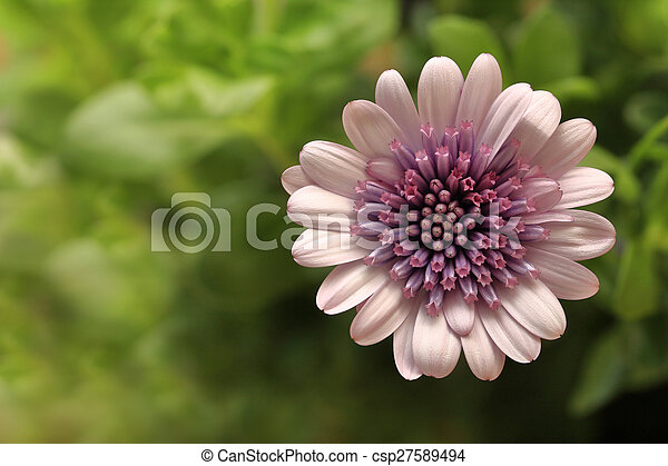 roze, macro, bloem, grit, osteospermum - csp27589494