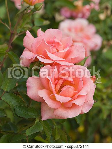 roze, mooi, roos - csp5372141