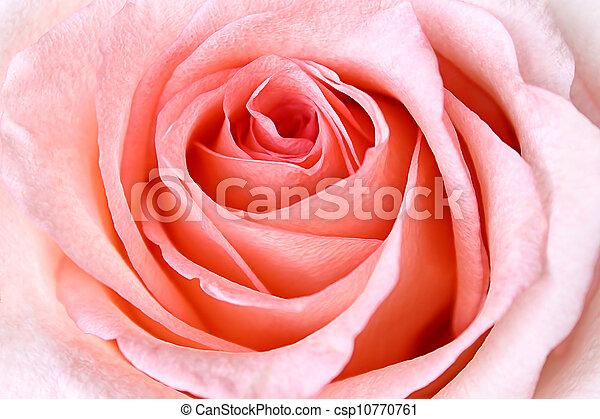 roze, mooi, roos - csp10770761