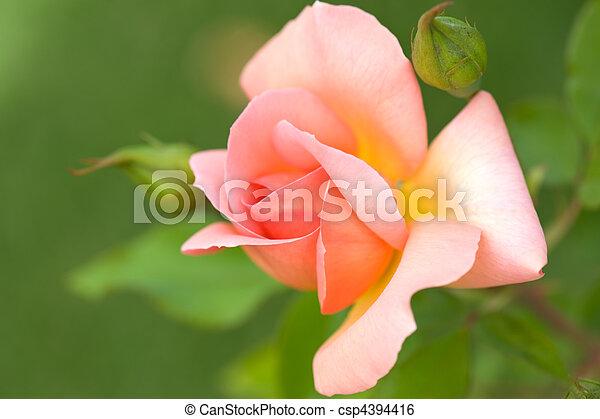 roze, mooi, roos - csp4394416