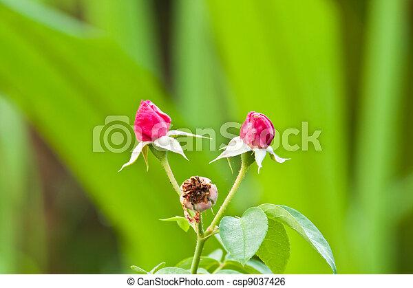 roze, mooi, roos - csp9037426