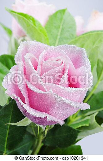 roze, mooi, roos - csp10201341