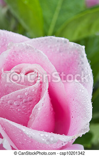 roze, mooi, roos - csp10201342