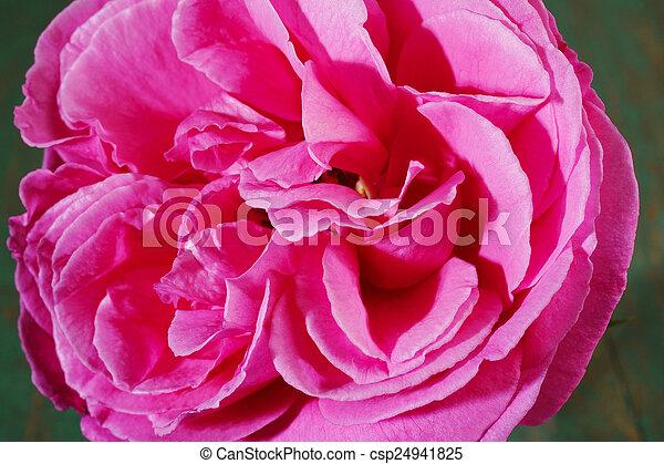 roze, mooi, roos - csp24941825