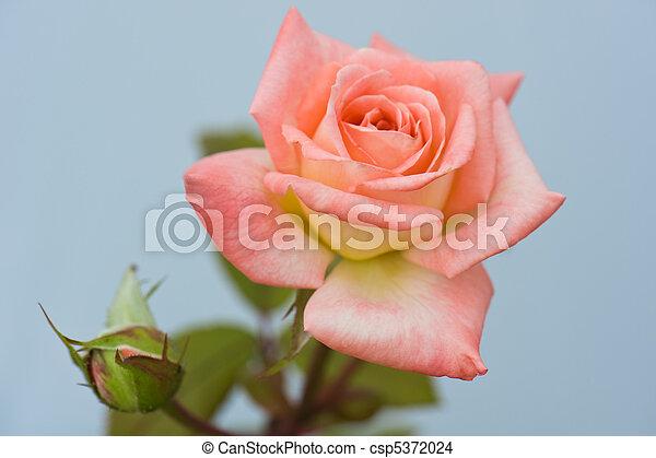 roze, mooi, roos - csp5372024