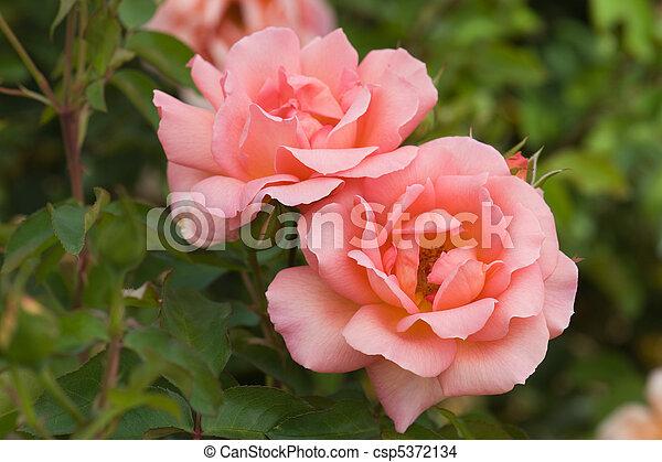 roze, mooi, roos - csp5372134