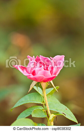 roze, mooi, roos - csp9038302