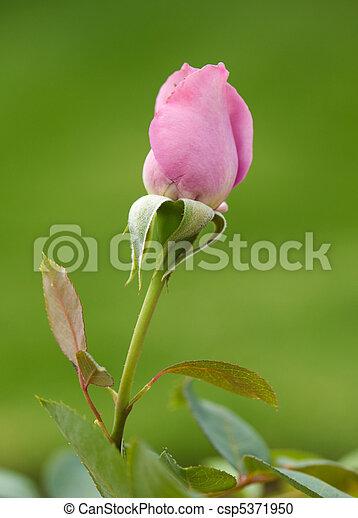 roze, mooi, roos - csp5371950