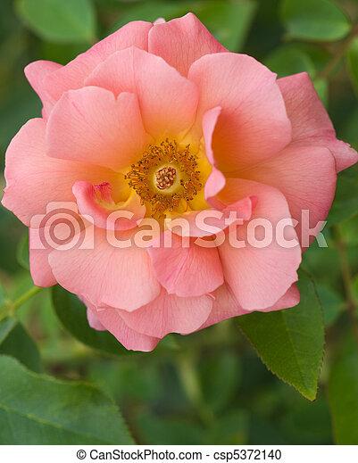 roze, mooi, roos - csp5372140