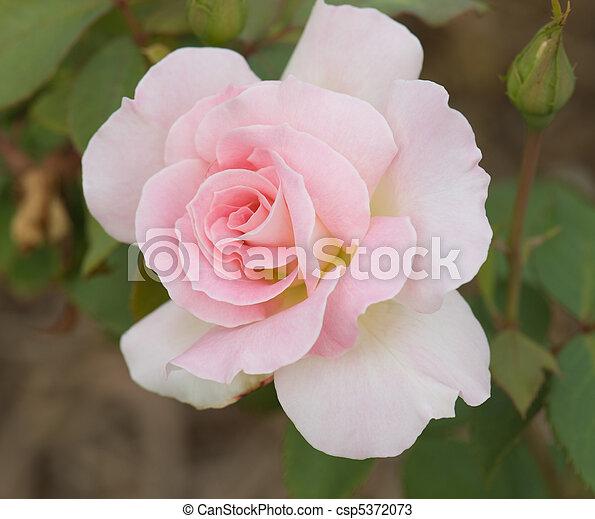 roze, mooi, roos - csp5372073