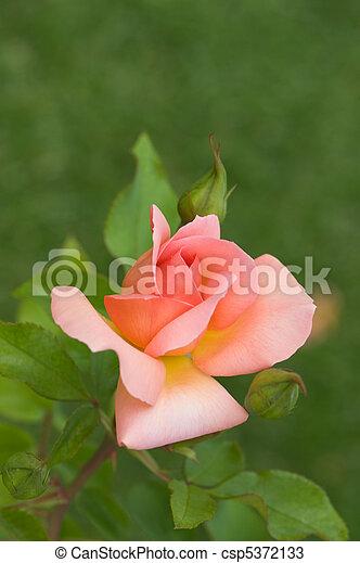 roze, mooi, roos - csp5372133