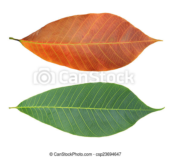 Rubber leaves - csp23694647