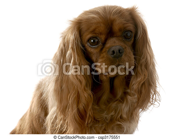 ruby cavalier king charles spaniel - csp3175551