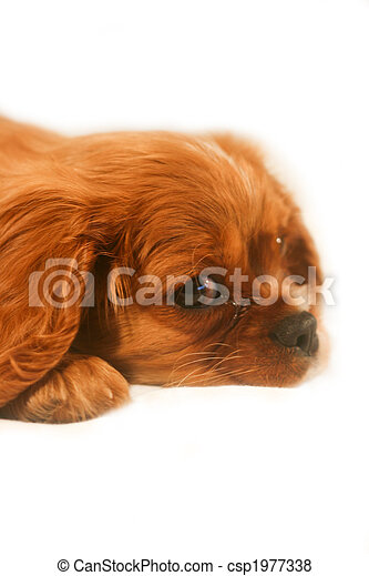 Ruby Cavalier King Charles Spaniel Puppy - csp1977338