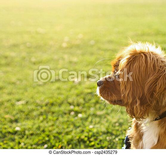Ruby (Tan) Cavalier King Charles Puppy - csp2435279