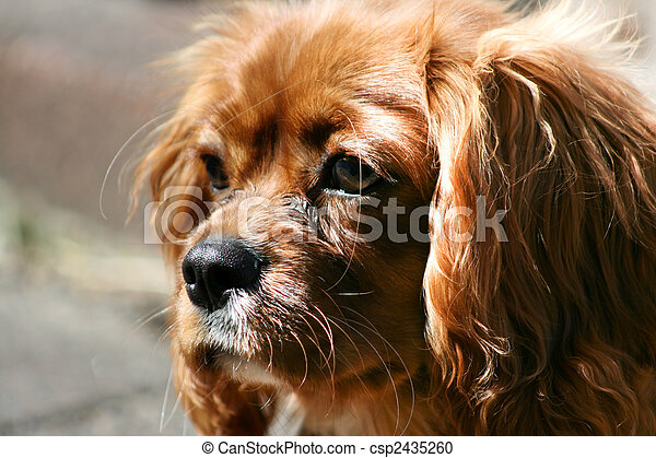 Ruby (Tan) Cavalier King Charles Puppy - csp2435260