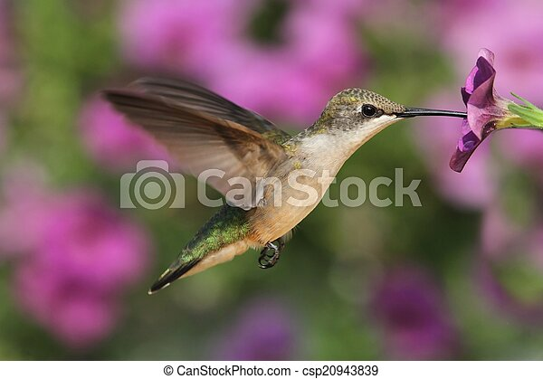 ruby-throated, colibrí - csp20943839
