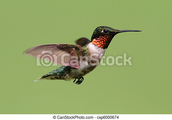 ruby-throated, colubris), colibrí, (archilochus - csp6000674