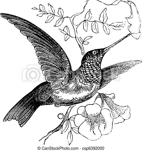 Ruby-throated Hummingbird or Archilochus colubris vintage engraving - csp6392000