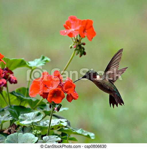 ruby-throated, hummingbird - csp0806630