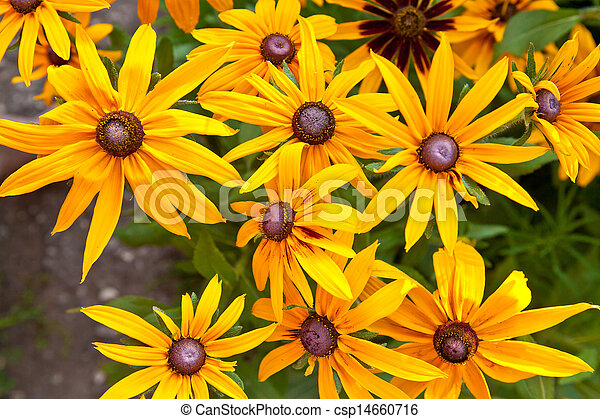 Rudbeckia hirta in the garden - csp14660716