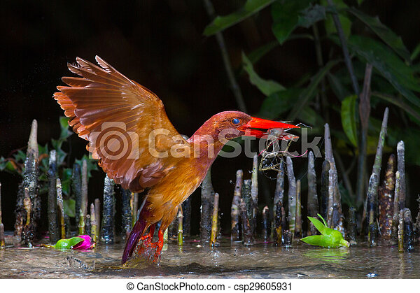 Ruddy Kingfisher Catching - csp29605931