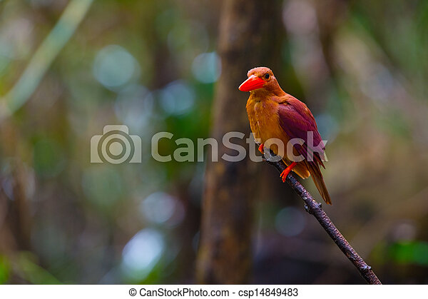 Ruddy Kingfisher-Halcyon coromanda bangsi - csp14849483
