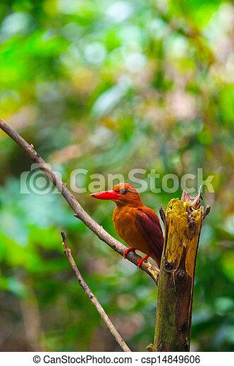 Ruddy Kingfisher-Halcyon coromanda bangsi - csp14849606