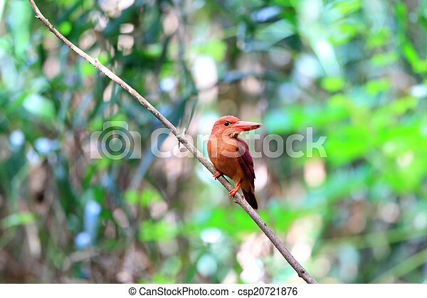 Ruddy Kingfisher - csp20721876