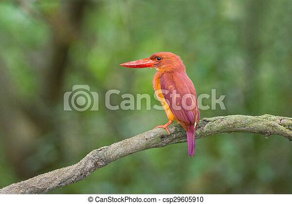 Ruddy Kingfisher - csp29605910