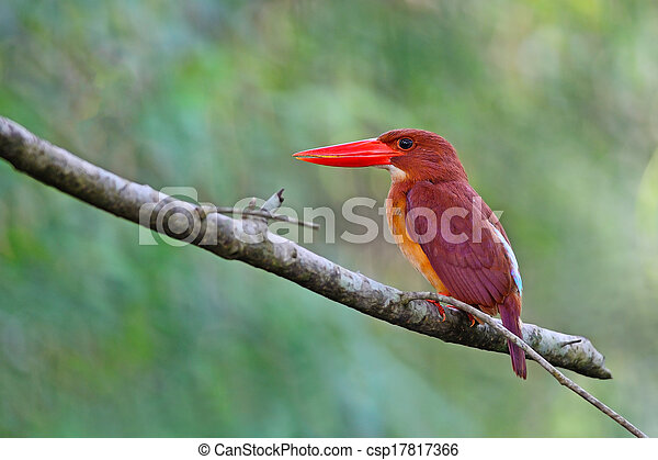 Ruddy Kingfisher - csp17817366
