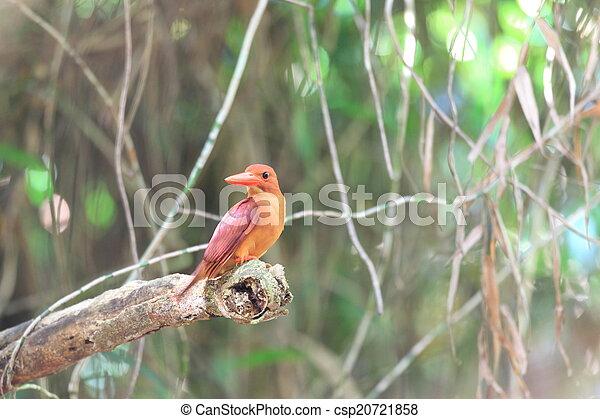 Ruddy Kingfisher - csp20721858